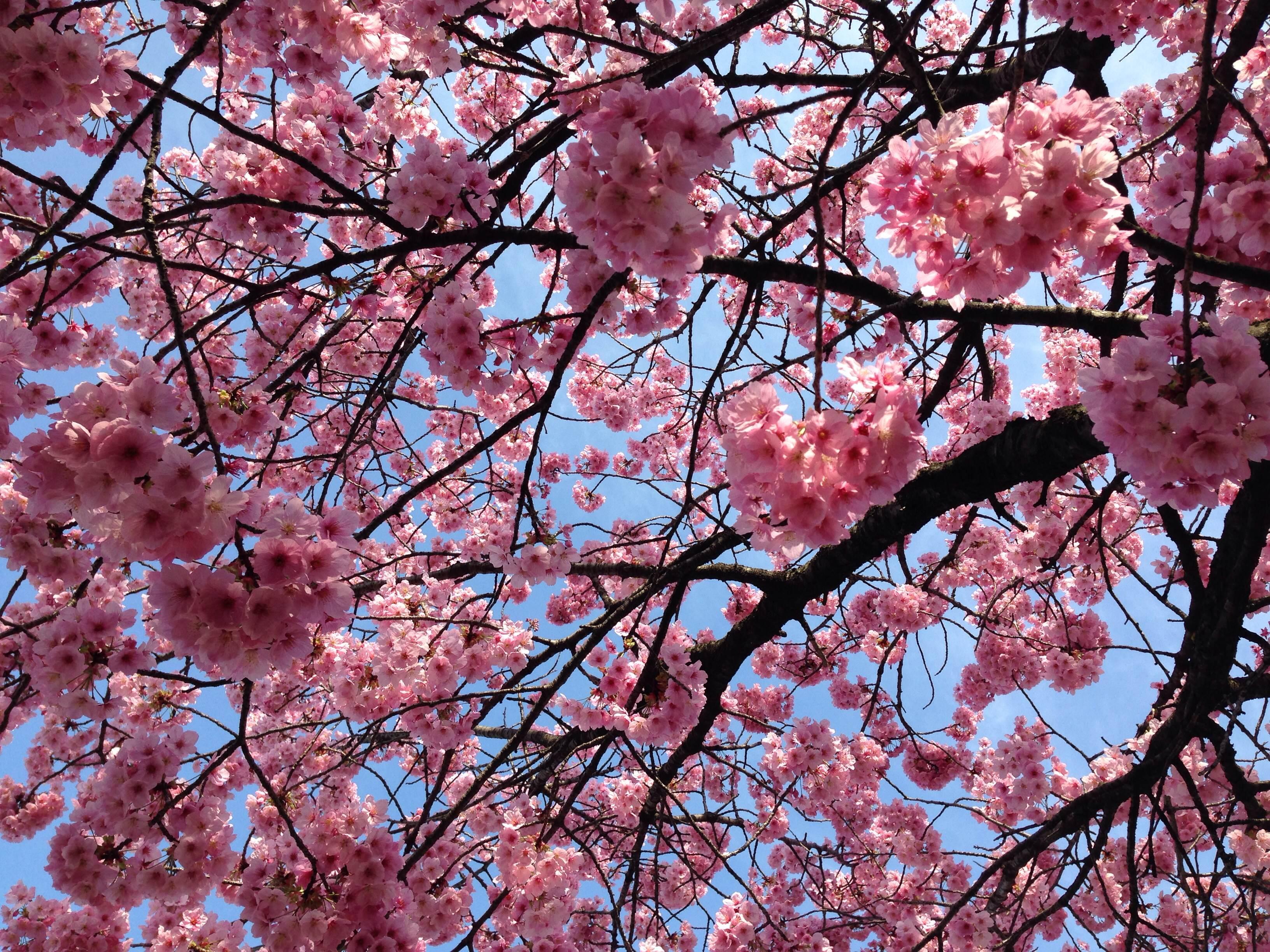 floraison des cerisiers japonais tokyo le hanami a. Black Bedroom Furniture Sets. Home Design Ideas